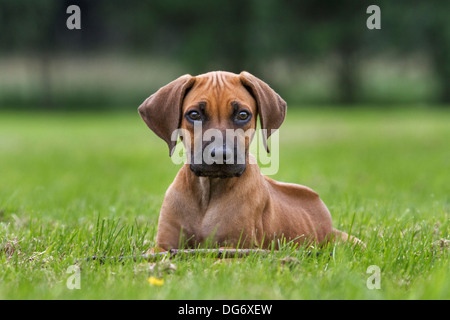 Rhodesian Ridgeback / African Lion Hound (Canis lupus familiaris) pup lying on lawn in garden - Stock Photo
