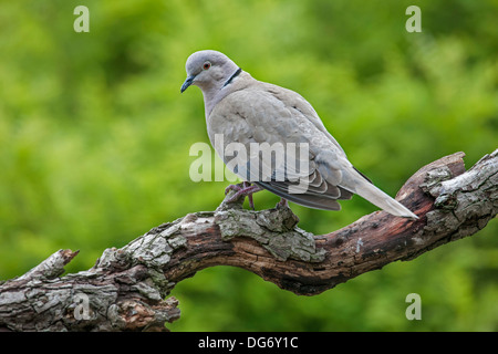 Eurasian Collared Dove (Streptopelia decaocto) perched on branch in tree - Stock Photo