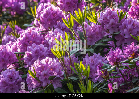 Common rhododendron / pontic rhododendron (Rhododendron ponticum) in flower - Stock Photo