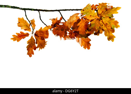 Oak branch with dry yellow leaves on a white background - Stock Photo