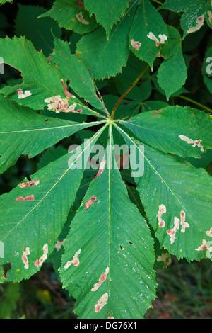 Horse-chestnut (Aesculus hippocastanum) leaf showing signs of leaf miner bug, UK, summer - Stock Photo