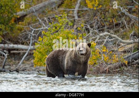 Grizzly bear, Ursus arctos, Feeding on fish during the autumn sockeye salmon spawning season Chilcotin Wilderness - Stock Photo