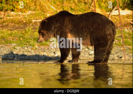 Grizzly bear Ursus arctos Cub standing near barbed wire set for sampling fur Chilcotin Wilderness BC Interior Canada - Stock Photo