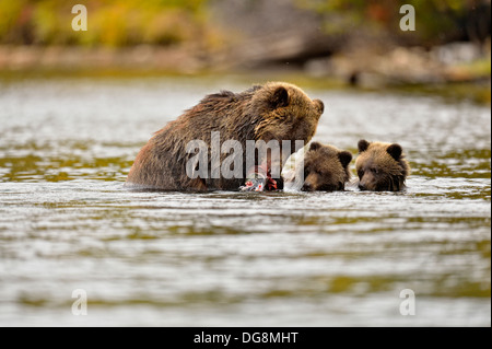 Grizzly bear, Ursus arctos, Mother with sockeye salmon during spawning season, Chilcotin Wilderness, BC Interior, - Stock Photo