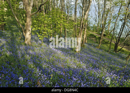 Bluebell wood, Fermain Bay, Island of Guernsey, Bailiwick of Guernsey, British Crown dependency, English Channel, - Stock Photo