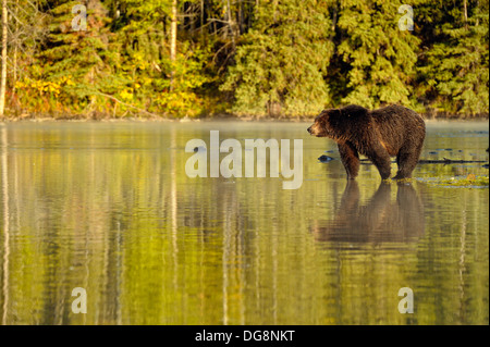Grizzly bear Ursus arctos Hunting for sockeye salmon during spawning season Chilcotin Wilderness BC Interior Canada - Stock Photo