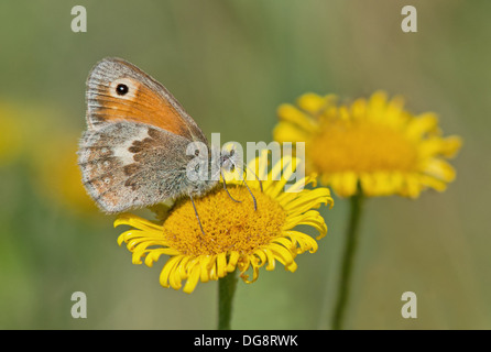 Small Heath-Coenonympha pamphilus, Butterfly Feeding On Yellow Camomile-Anthemis tinctoria. Uk - Stock Photo