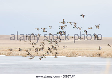 Mallard Duck, Anas platyrhynchos - Stock Photo