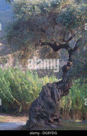 Ancient gnarled Olive tree stood above the River Guadalfeo in Orgive Alpujarra Granada Sierra Navada Monuntains - Stock Photo