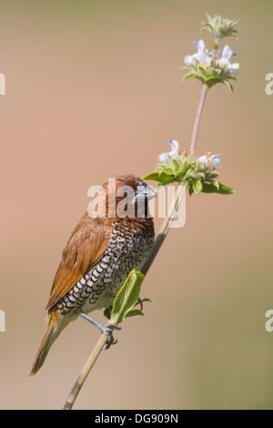 Nutmeg Mannikin also called a Spice Finch, a feral bird, on a clover plant.(Lonchura punctulata).Irvine,California - Stock Photo