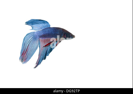 blue betta fish tank with isolated white background - Stock Photo