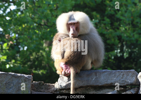Mature male African Hamadryas baboon (Papio hamadryas) soothing young - Stock Photo
