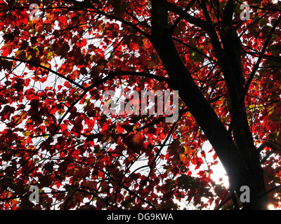 Autumnal red leaves and dark branches of a large Japanese Acer Palmatum tree showing rich autumn colours - Stock Photo