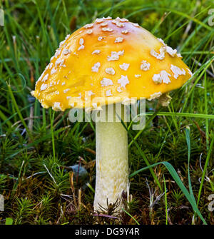 Amanita muscaria mushroom - Stock Photo