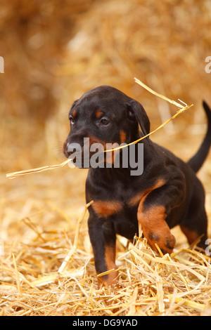 Dobermann Pinscher, puppy, 5 weeks |Dobermann, Welpe, 5 Wochen, traegt Strohhalm - Stock Photo