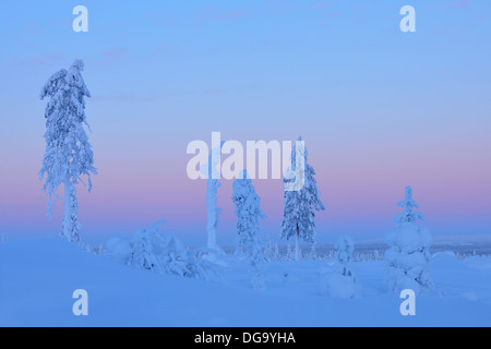 Snow covered trees at dusk, Winter, Nissi, Kuusamo, Nordoesterbotten, Suomi, Finland - Stock Photo