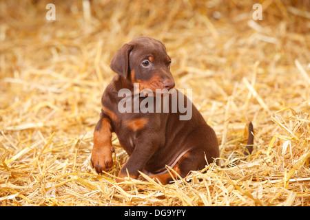 Dobermann Pinscher, puppy, 5 weeks |Dobermann, Welpe, 5 Wochen - Stock Photo