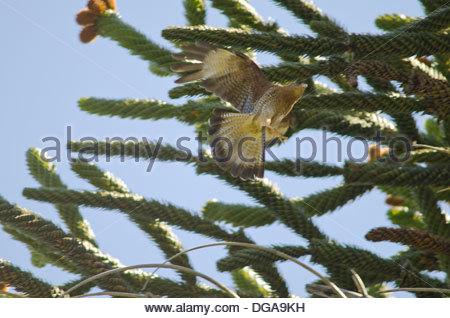 Chimango (Milvago chimango) in flight. - Stock Photo