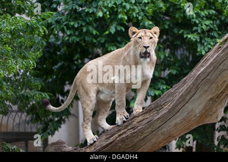 Lioness on a tree trunk in the zoo - Stock Photo