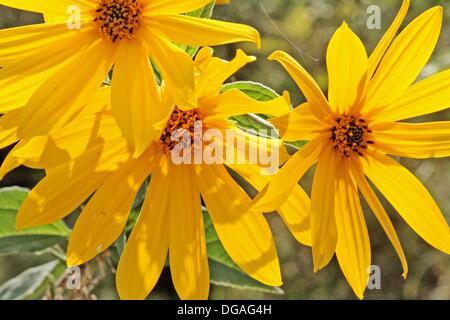 Jerusalem Artichoke, Helianthus tuberosus, Spray of sunflowers From below  Open flowers  The plant belongs to aster - Stock Photo
