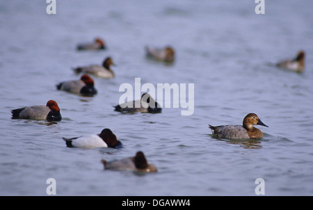 Redhead and canvasback ducks resting on the bay near Rockport Texas - Stock Photo