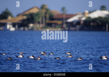 A flock of canvasback ducks resting on the bay near Rockport Texas - Stock Photo