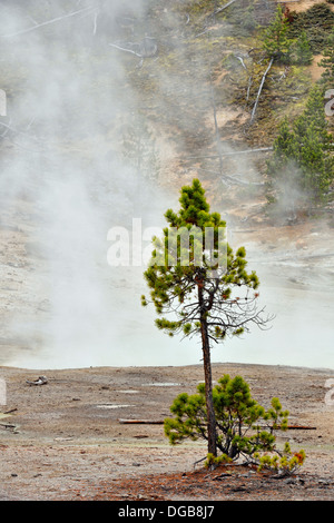 Lone pine and thermal vent near Norris Geyser Basin Yellowstone NP Wyoming USA - Stock Photo