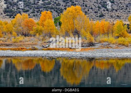 Autumn foliage on cottonwoods along the Yellowstone River near Livingston Montana USA - Stock Photo