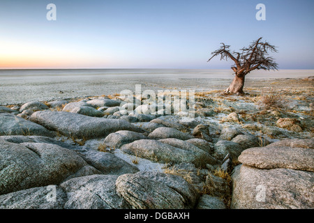 A lone Baobab on the edge of Kubu Island, Botswana. - Stock Photo