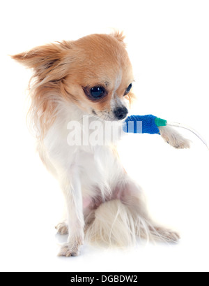 chihuahua and perfusion in front of white background - Stock Photo