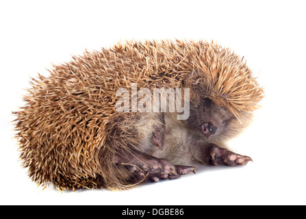 spiny forest hedgehog and kitten on a white background - Stock Photo