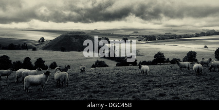 Sheep in field near Avebury with Silbury hill in background. Wilts, UK - Stock Photo