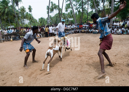 GOAT FIGHTING - CONDUCTED AS PART OF TEMPLE FESTIVALS NEAR ...