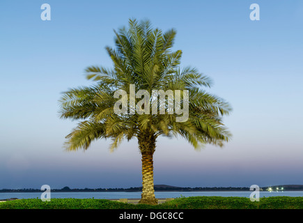 Date palm tree, Adu Dhabi, United Arab Emirates - Stock Photo