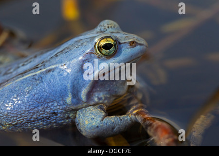 Moor Frog (Rana arvalis) blue coloured male floating in pond during the breeding season in spring - Stock Photo