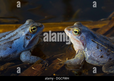 Two Moor Frogs (Rana arvalis) blue coloured males floating in pond during the breeding season in spring - Stock Photo