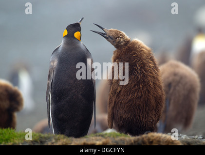 King penguin with young chick, amongst the colony, on beach, along the north east coast of Macquarie Island, Southern - Stock Photo