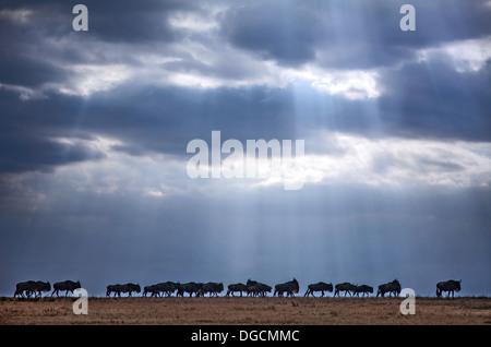 Shafts of light illuminate a migrating herd of wildebeest. - Stock Photo