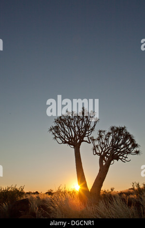 Sunsets in the Quivertree forest - Stock Photo
