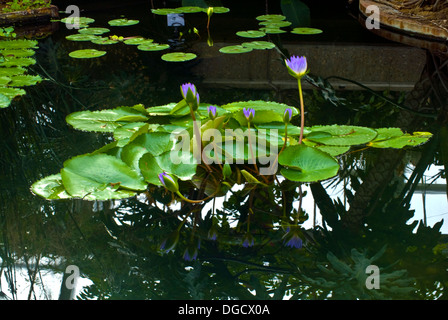 Water Lilly in the pond among the leaves. - Stock Photo