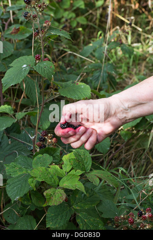 A woman collects autumn blackberries, also known as caneberries, in Northumberland, UK - Stock Photo