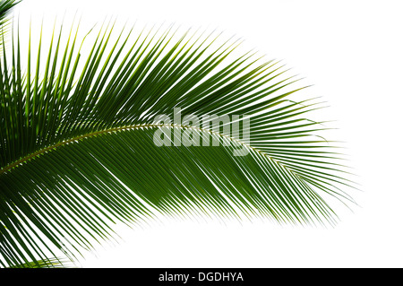 Leaf of coconut palm tree isolated on white background - Stock Photo