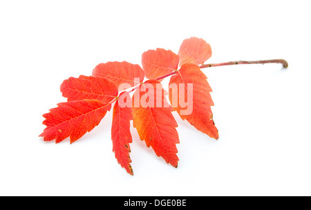 red autumn leaf isolated on white background - Stock Photo