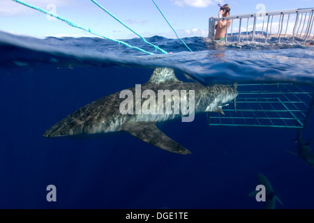 Thrill seeker experiences cage diving with Galapagos sharks, Carcharhinus galapagensis, North shore, Oahu, Hawaii, - Stock Photo
