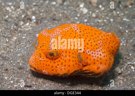 Star Puffer in juvenile form.(Arothron stellatus).Lembeh Straits,Indonesia - Stock Photo