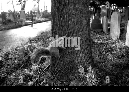 Squirrel in Brompton Road Cemetery, London - Stock Photo