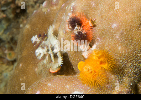 Christmas Tree Worms in many different colors.(Spirobranchus sp.).Lembeh Straits,Indonesia - Stock Photo