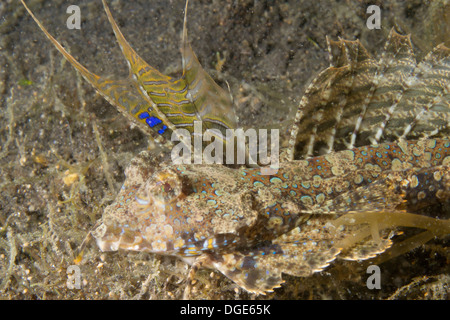 Male Fingered Dragonet closeup.(Dactylopus dactyopus).Lembeh Straits,Indonesia - Stock Photo