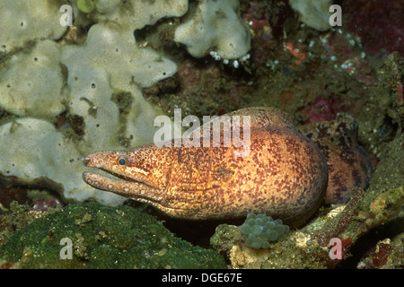 Barred-Fin Moray Eel.(Gymnothorax zonipectis).Lembeh Straits,Indonesia - Stock Photo
