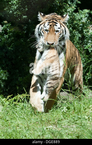 Amur, or Siberian Tigress (Panthera tigris altaica), carrying cub in her mouth. - Stock Photo